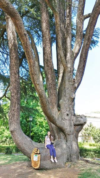 Lebanon cedar in Parco Massari in Ferrara